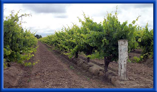 Vines on Drip Irrigations -