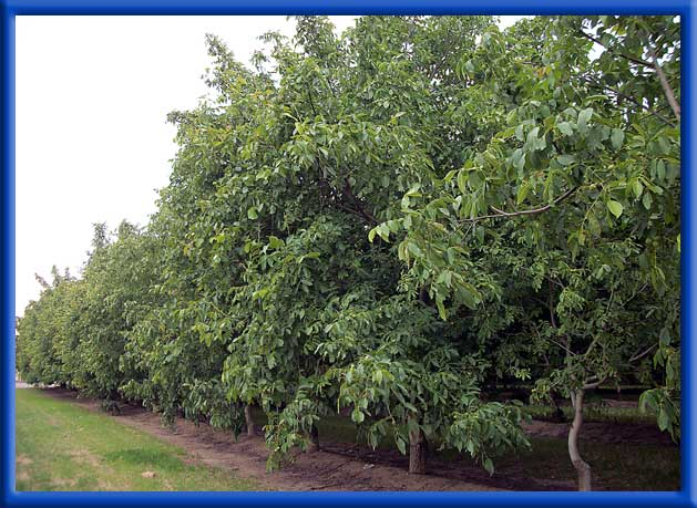 Young Walnut Trees Hedge Row - Sprinklers - Excessive Boron Problem Before Water Changers