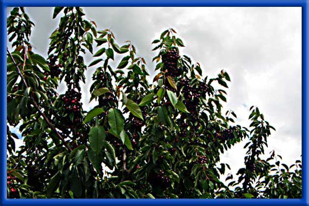 Cherries on Sprinklers - San Joaquin County Great size and quality