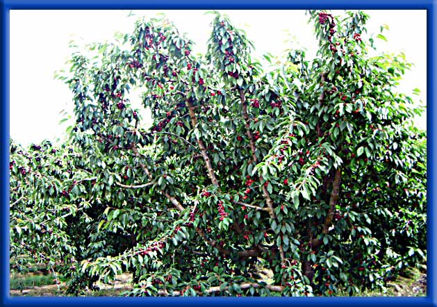 Cherries on Sprinklers - San Joaquin County