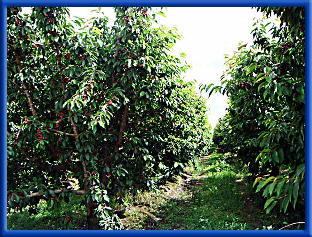 Cherries - Flood and Sprinklers - Huge Cherry Crop