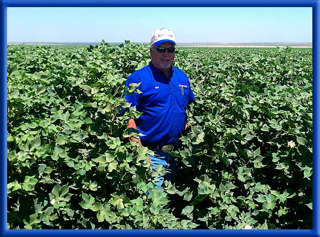 Double the growth of untreated cotton planted at same time - Drip irrigationCalifornia