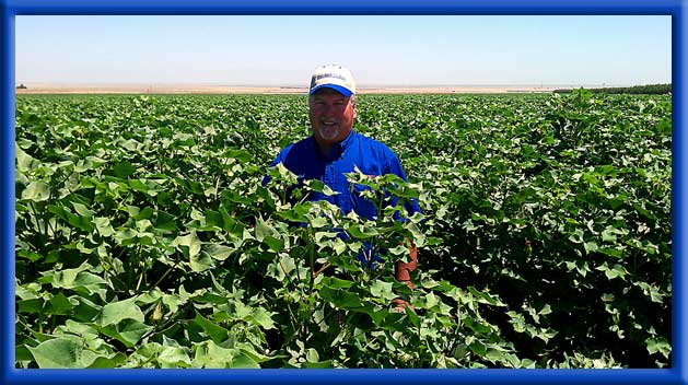 Increased size and yield compared to untreated cotton in same area - Drip irrigationCalifornia