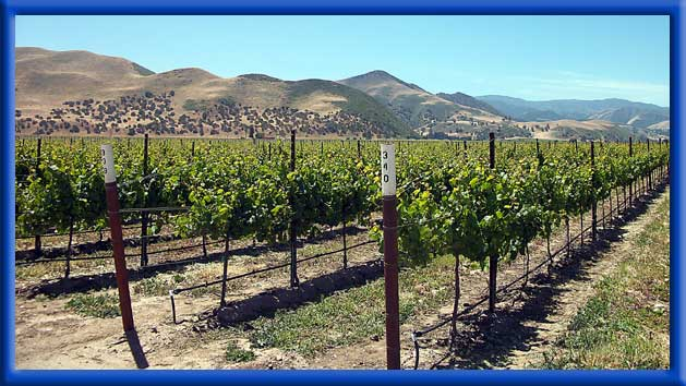 COASTAL YOUNG VINES - CLEAN DRIP LINES