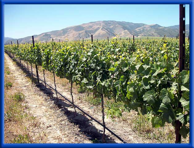 YOUNG VINEYARD - DRIP IRRIGATION