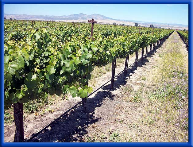 VINEYARD - DRIP IRRIGATION