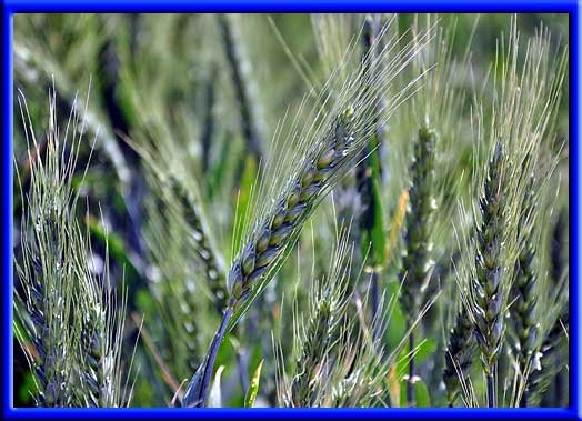 Wheat - Increased production