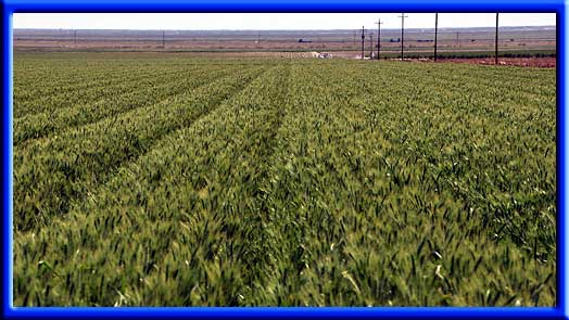 Wheat - Water reduction Drip irrigation
