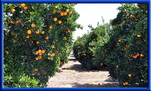 Oranges - Increased yield