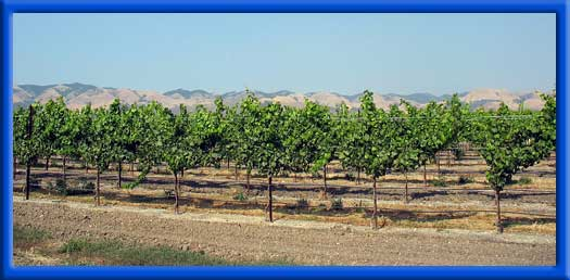 YOUNG VINEYARDS - CLEAN DRIP LINES